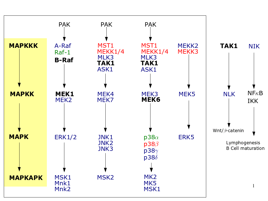 the downstream targets of the serinethreonine kinase lok are notcharacterized but lok doesn't seem to activate erk jnk or p pathways. in vivo functions of mitogenactivated protein kinases